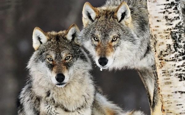 Красивые картинки волков (41 фото) • Развлекательные картинки