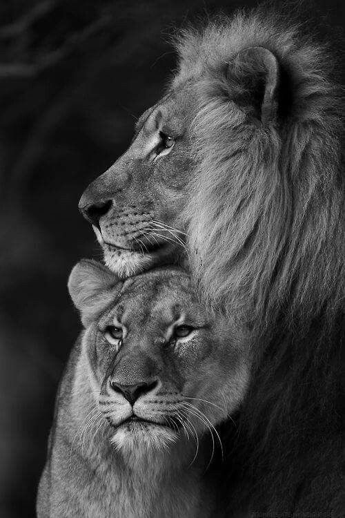 Картинки красивый лев (45 фото) • Развлекательные картинки