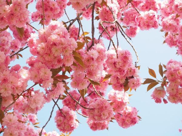Картинки красивая сакура (45 фото) • Развлекательные картинки