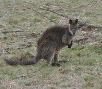 Local wallaby