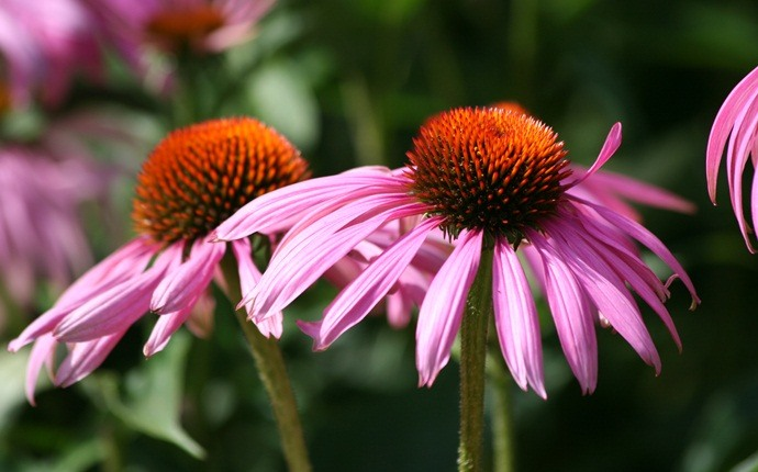 how to treat hpv - echinacea