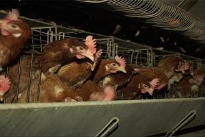 Pojačane kontrole hrane zbog salmonele