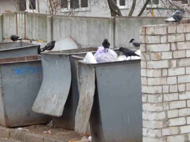 Птицы часто рвут пакеты, рассыпая мусор у контейнеров