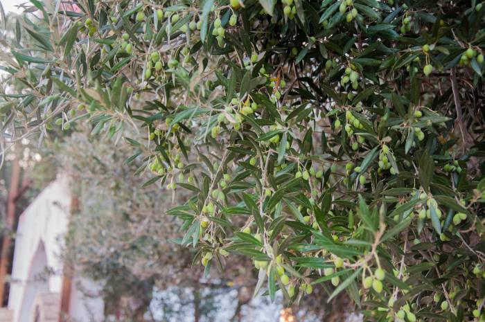 Оливковое дерево. Фото Анастасии Вереск