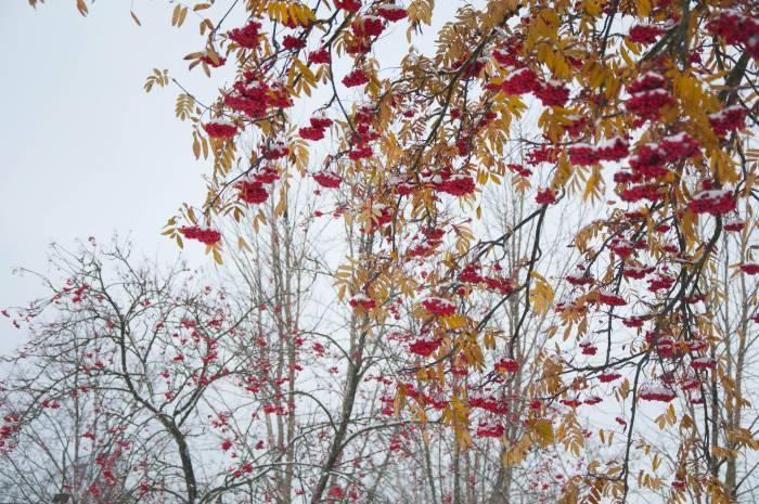 Обилие рябины осенью – к долгой и морозной зиме. Фото Анастасии Вереск