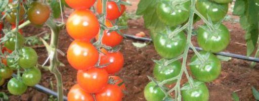 Родина сицилийских помидоров