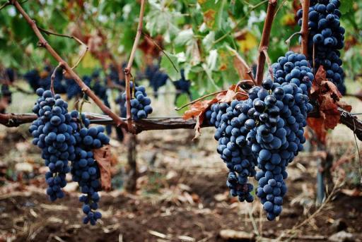 Сбор винограда на Сицилии