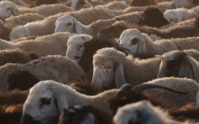 Le Parlement bruxellois continue à refuser le débat sur l'abattage sans étourdissement