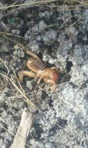 jeruselum-cricket