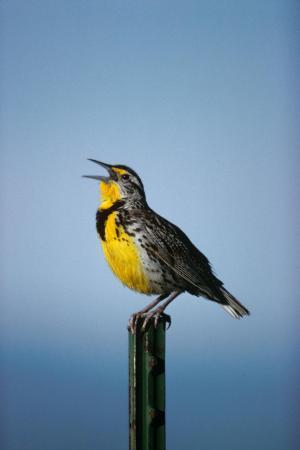 western-meadowlark