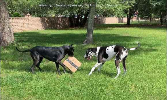 Great Danes extremely excited to open Amazon delivery package