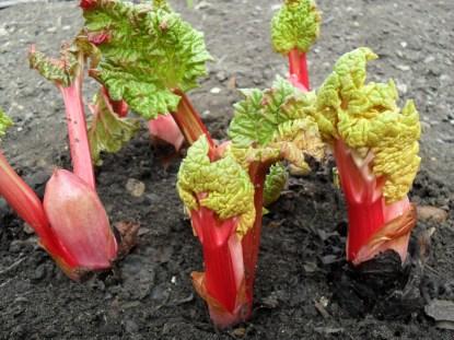 Rhubarb rhubarb