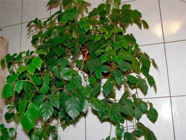 Комнатное растение Роициссус — фото, описание и уход ...