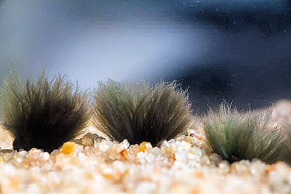 Черная борода в аквариуме: причины появления и как избавиться