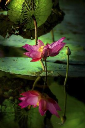lotus flower-1