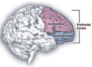 prefrontalcortex