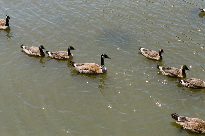 Ping Tom Ducks