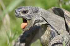 Turtle with tongue hanging out