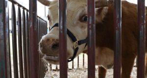 Varios ejemplares de ganado vacuno forma parte de la exhibición de animales del festival.