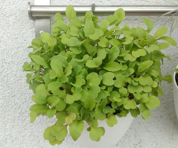uzgoj povrća na balkonu – VOĆKARICA&VRTLARICA