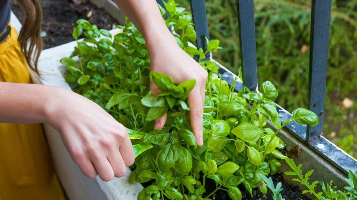 Albahaca, cómo cultivarla