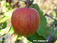 сорт яблок Бребурн