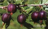 сорт винограда Неслуховский