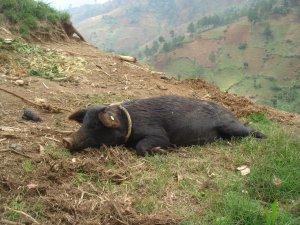 Haitian Vodou Animal Sacrifice
