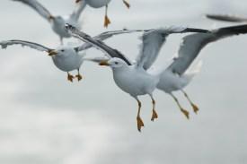 Kleine Mantelmeeuw; Lesser Black-backed Gull