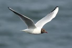 Kokmeeuw; Black-headed Gull