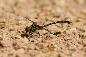 Kleine Tanglibel; Small Pincertail