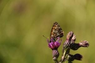 Woudparelmoervlinder; False Heath Fritillary