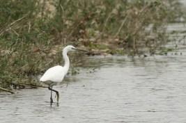 Kleine Zilverreiger; Little Egret