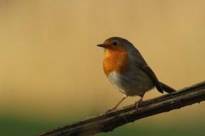 Roodborst; European Robin