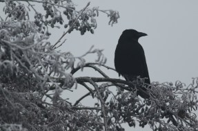Zwarte Kraai; Carrion Crow