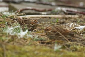 Dwerggors; Little Bunting