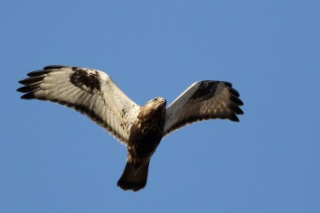 Ruigpootbuizerd; Rough-legged Buzzard
