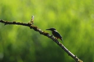 IJsvogel; Common Kingfisher