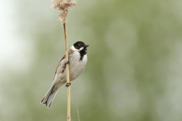 Rietgors; Reed Bunting