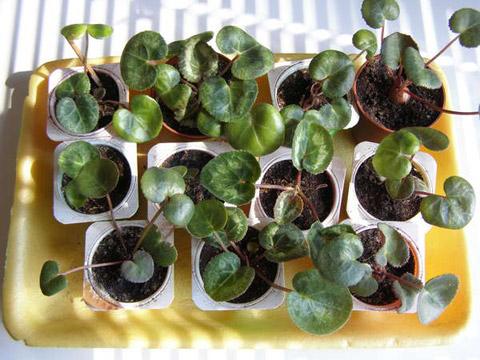 Уход в домашних условиях за цикламеном – выращивание, пересадка и размножение