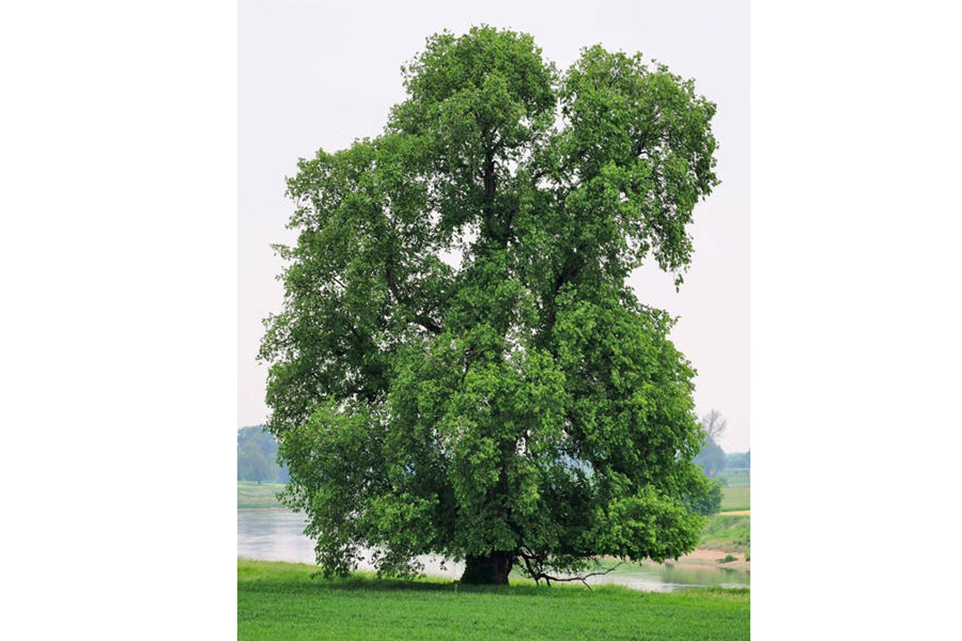 Die Flatter-Ulme ist Baum des Jahres 2019