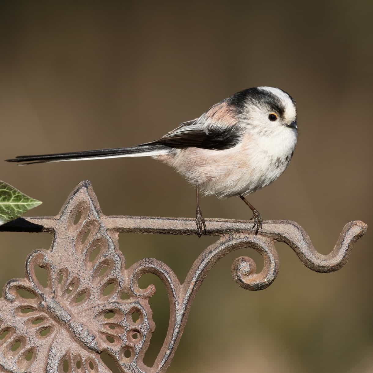 Image result for long tailed tit