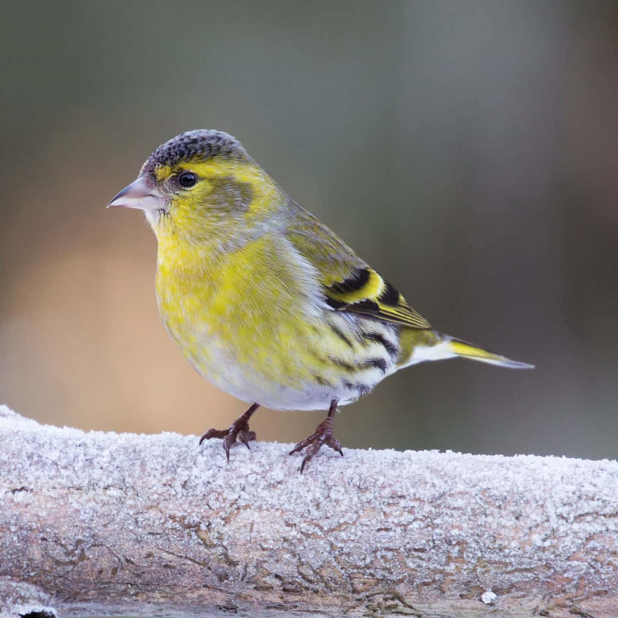 Image result for siskin bird