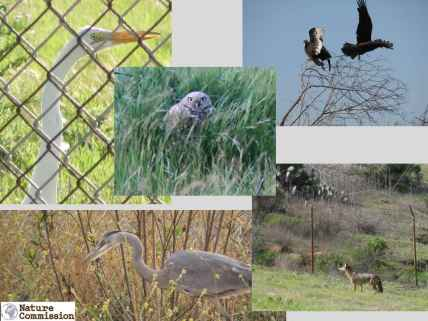 Burrowing Owls, Herons, Vultures and Coyotes