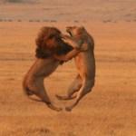 lions at war