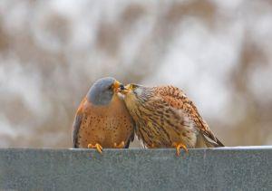Lesser Kestrel Kiss By: Shlomo Waldmann