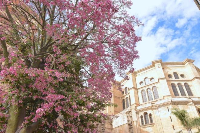 chorisia malaga catedral