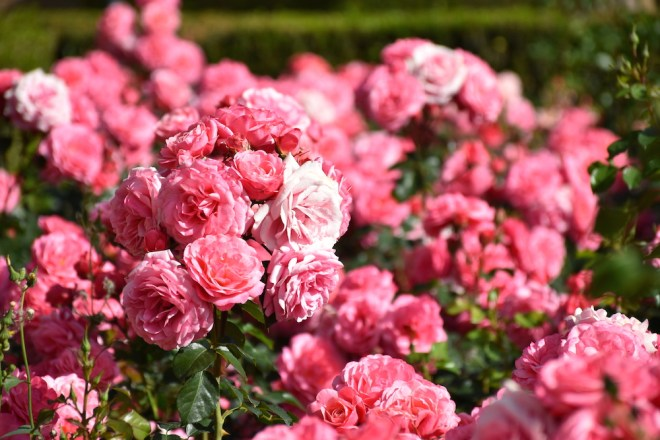 rosas jardines de pedro luis alonso