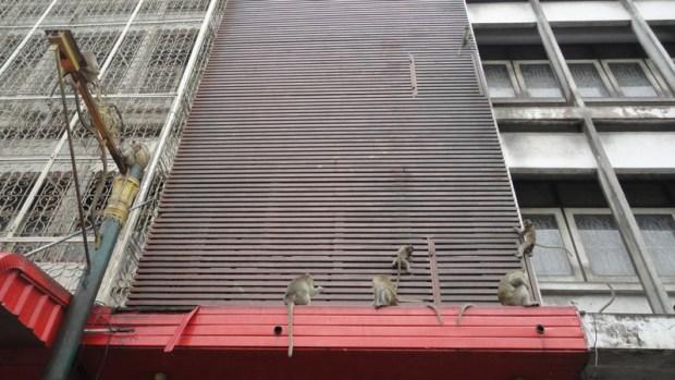 Tentatives vaines de lutter contre l'invasion des macaques