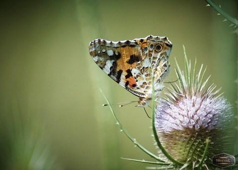 Papillon Belle-Dame - Nicolas Ernult Agence Web Coccinelle